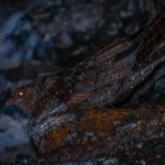 oilbirds_guacharos_cave_national_park_colombia