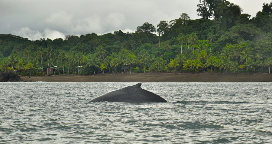 whale_watching_pacific_colombia_tourism
